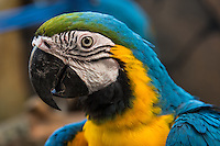 Parrots, psittacines, always have bright colors, usually greens, reds, yellows and blue. There are 279 parrot species in the world that include macaws, keas, lovebirds, parakeets,  kakapos and lorikeets. Although quite different from each other in many ways, these birds all have a curved beaks and eat nuts, seeds, fruits, and insects.  Parrots have strong thick beaks that are perfect for breaking open nuts.  Their clawed feet are very strong and helpful in holding onto food and perches.