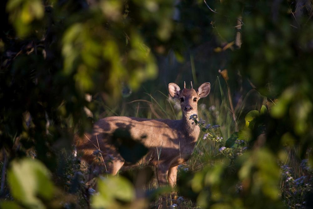 Aquidauana_MS, Brasil...Veado femea na fazenda Rio Negro no Pantanal...The female deer in the Rio Negro farm in Pantanal...Foto: JOAO MARCOS ROSA / NITRO