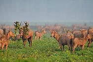 A herd of Père David's deer, or Milu, Elaphurus davidianus, Hubei Tian'ezhou Milu National Nature Reserve, Shishou, Hubei, China. The dominant harem-keeping stag in the herd.