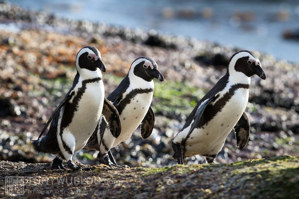 Trio of African penguins (Spheniscus demersus) heading to sea in the early morning to forage for food.