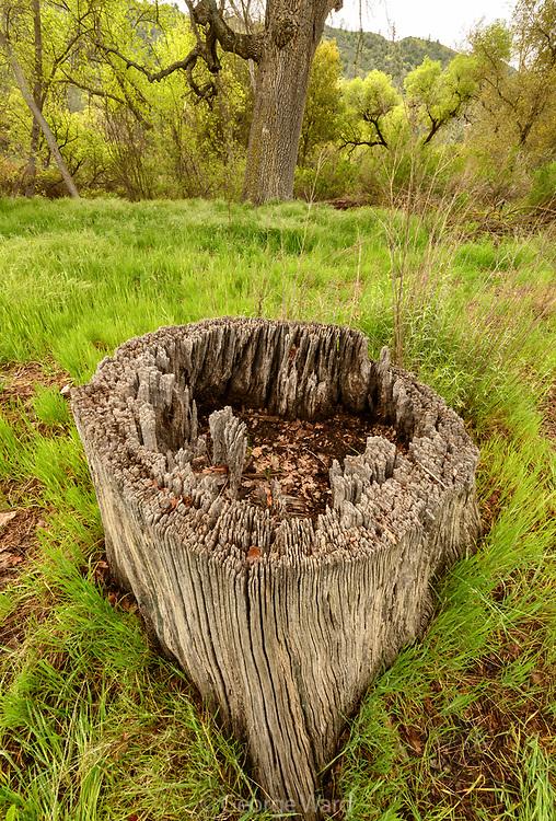 Old Valley Oak Stump, Pinnacles National Park, California