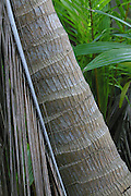 Coconut tree, Henderson island (World Heritage site), Pitcairn Group<br />