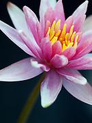 Nymphaea 'Little Sue' - waterlily