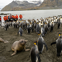 King penguins and elephant seal weaners crowd the beach as a zodiac arrives with guests to a massive breeding colony at Gold Harbour on South Georgia Island.