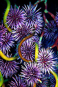 UNDERWATER MARINE LIFE EAST PACIFIC: Northeast URCHINS: Purple sea urchins Strongylocentrotus purpuratus