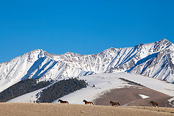 Four mustangs, Pahsimeroi Mountains, Central Idaho