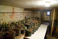 Dahlia and canna tubers stored in the cellar at Great Dixter