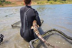 Katie Kent Moving Leopard Shark Between Pens