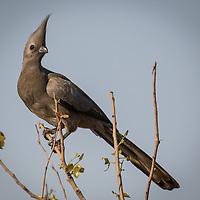 Corythaixoides concolor, Botswana