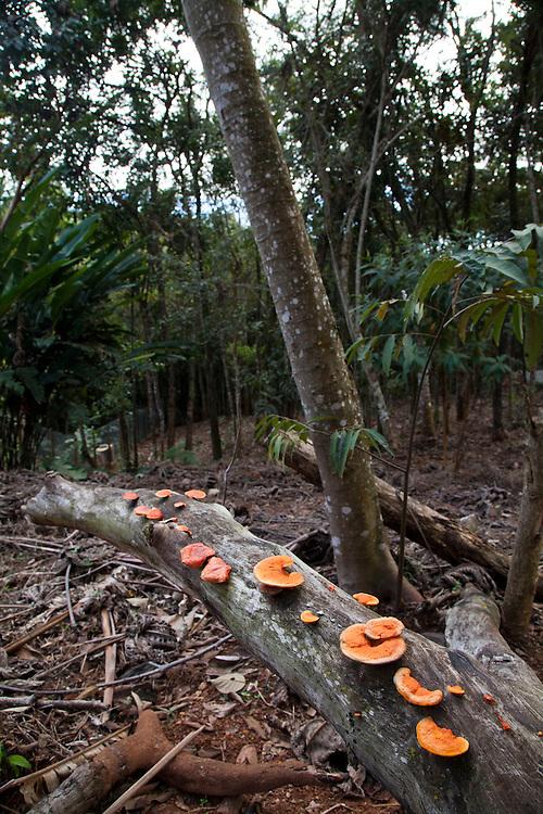 Nova Lima_MG. Brasil.<br /> <br /> Orelha-de-pau (Polyporus sanguineus ou Pycnoporus sanguineus) em tronco na Estacao Ecologica de Fechos em Nova Lima, MG.<br /> <br /> Pycnoporus sanguineus (syn. P. coccineus) is a white rot saprobic fungus in The Fechos Ecological Station in Nova Lima, Minas Gerais.<br /> <br /> Foto: JOAO MARCOS ROSA / NITRO