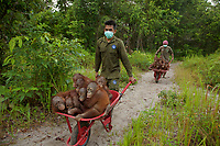 Keepers at IAR transport juvenile orangutans by wheelbarrow to a patch of forest where they will learn skills for the wild.<br />
