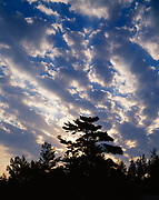 Mackerel sky of altocumulus clouds silhouetting white pine forest along shore of Lake Huron, Pinery Provincial Park, Ontario, Canada.