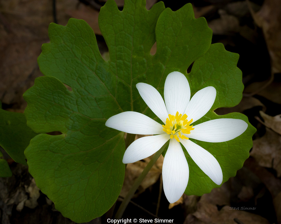 One of the earliest spring flowers, gets its name from the red juice that flows from its stem when broken.