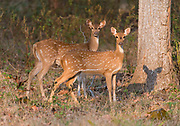 Spotted deers, (Axis axis) from Kanha National Park, India.