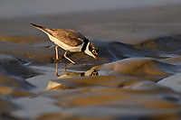 Little ringed plover, Charadrius dubius, walking on wet sand at Tongbiguan nature reserve, Dehong prefecture, Yunnan province, China