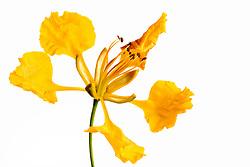 Yellow Poinciana#6