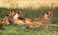 Lionesses, Serengeti National Park, Tanzania