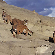 Mountain Lion or Cougar, (Felis concolor) Family in foothills of Rocky mountains. Montana. Captive Animal.
