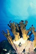 elkhorn coral, Acropora palmata, <br /> being killed by by white band disease, <br /> Florida Keys ( Western Atlantic Ocean )