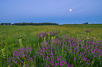 Among the purple prairie clover, milkweed plants shoot up as well as a few coneflowers. Darkness had fallen on the Nachusa Grasslands as the nearly full moon rose higher in the east.<br />
