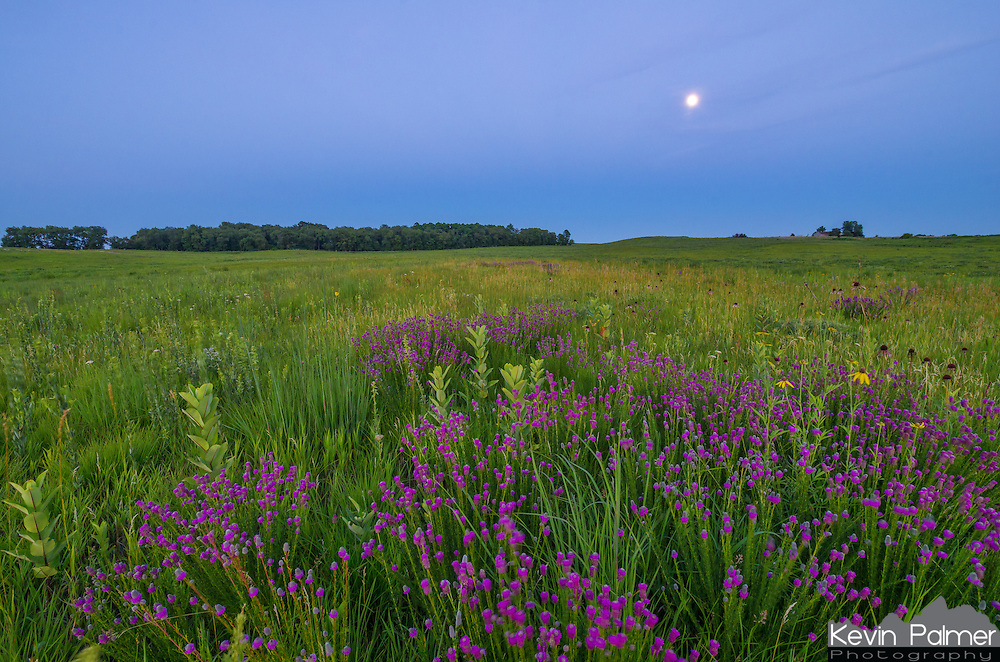 Among the purple prairie clover, milkweed plants shoot up as well as a few coneflowers. Darkness had fallen on the Nachusa Grasslands as the nearly full moon rose higher in the east.<br /> <br /> Date Taken: July 10, 2014