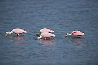Four Roseate Spoonbills feeding. Black Point Wildlife Drive, Merritt Island National Wildlife Refuge. Image taken with a Nikon D800 camera and 400 mm f/2.8 lens (ISO 100, 400 mm, f/4, 1/3200 sec).