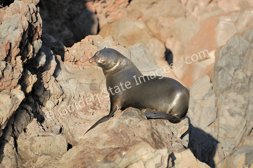 Their coats appear dark brown when wet then transition to light brown when dry. <br /> <br /> Range: Channel Islands to Cedros Island Baja Mexico    <br /> <br /> Species: Arctocephalus townsendi