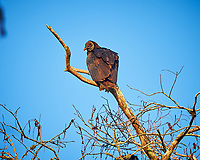 Black Vulture perched on a branch in Big Cypress Swamp. Image taken with a Nikon Df camera and 400 mm f2.8 lens (ISO 800, 400 mm, f/4, 1/800 sec).