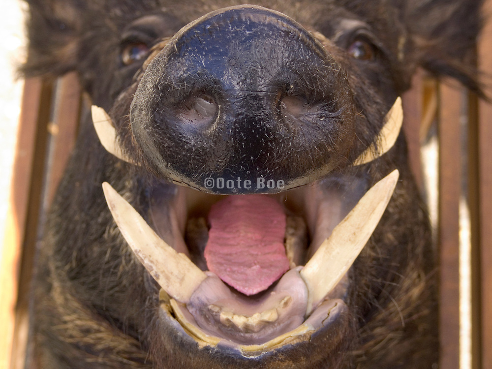 extreme close up of stuffed wild boar