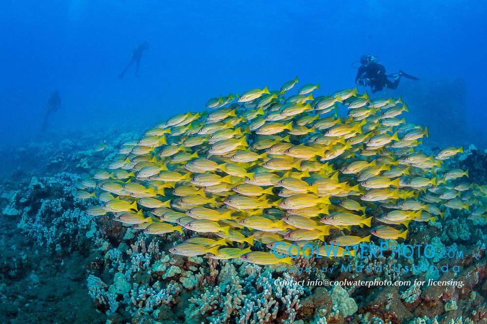scuba diver and schooling bluestripe snappers, Lutjanus kasmira, Lanai, Hawaii, USA, Pacific Ocean, MR