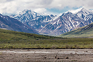 Caribou (Rangifer tarandus) resting on the Toklat River bed in Denali National Park in Interior Alaska. Summer. Morning.