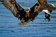 Bald eagles in conflict over food - Alaska.