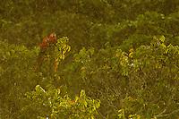 Scarlet Macaw (Ara macao) in the canopy at the Napo Wildlife Center in Yasuni National Park, Francisco de Orellana Province, Ecuador.