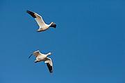 Snow geese (Chen hyperborea)