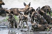 Wild dog puppies at waterhole