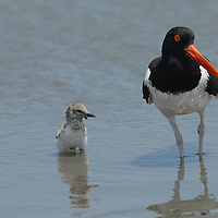 Mature American Oystercatcher and newborn chick at water's edge