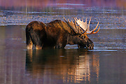 Bull moose feeding in the Oxbow Bend backwater at first light in Grand Teton National Park.