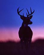 White-tailed deer at sunrise.