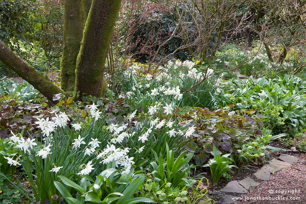 The woodland garden at Glebe Cottage in spring with Narcissus 'Thalia'