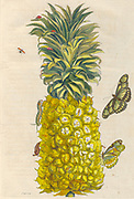 Pineapple and butterflies from Metamorphosis insectorum Surinamensium (Surinam insects) a hand coloured 18th century Book by Maria Sibylla Merian published in Amsterdam in 1719