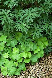 Foliage combination of Alchemilla mollis with geranium