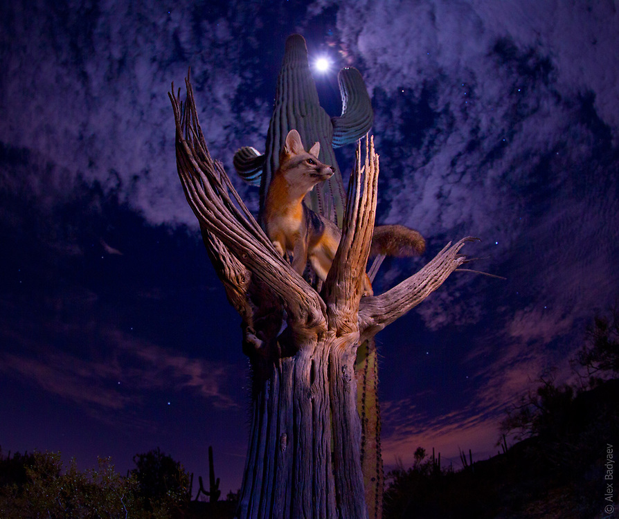 DESERT SENTINEL | Having evolved when old-growth deciduous forests covered deserts of North America's southwest, the uniquely arboreal grey fox is still clinging to its ancient adaptations.
