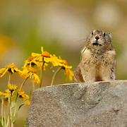 The American pika (Ochotona princeps) lives in rocky banks and steep boulder-covered hillsides at high elevations. Yankee Boy Basin, near Ouray, Colorado during late spring
