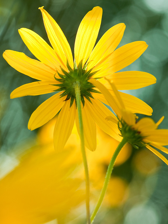 Yellow Daisy Array