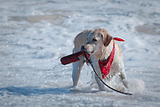 A dog with a red scarf holds a throw toy in the surf at Sandy Beach.