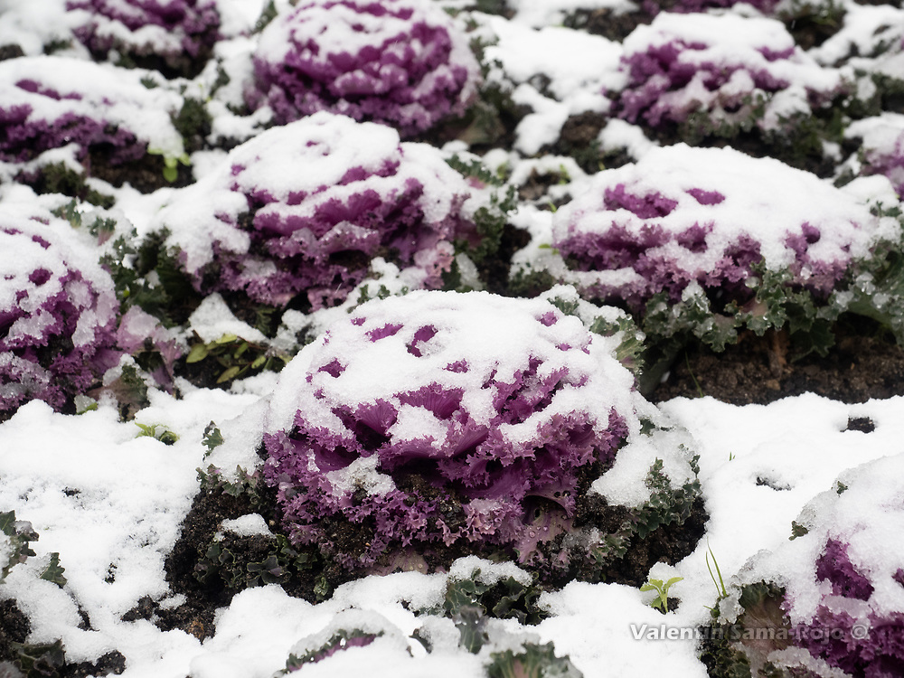 Madrid, Spain. 7th January, 2021. Purple decorative cabbage (Brassica oleracea) of a public garden of Madrid covered in snow due storm Filomena. Storm Filomena hits Madrid (Spain), a weather alert was issued for cold temperatures and heavy snow storms across Spain; according to the weather agency Aemet is expected to be one of the snowiest days in recent years. © Valentin Sama-Rojo.