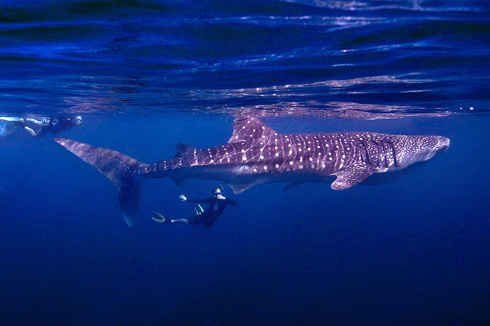03/Mayo/2013 Arabia Saudita.<br /> Investigación científica de KAUST.<br /> Tiburón ballena en Al-Lith en el Mar Rojo.<br /> <br /> ©JOAN COSTA