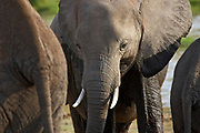 "Close up of group of elephants, the largest existing land animals and on of the ""big five"", Amboseli National Park"