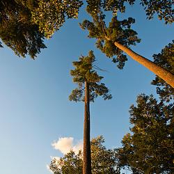 White pine trees in Hollis, Maine.