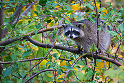 The raccoon, also known as the common raccoon, North American raccoon, northern raccoon and colloquially as coon, is a medium-sized mammal native to North America. The raccoon is the largest of the procyonid family, having a body length of 16 to 28 in and a body weight of 8 to 20 lb. Its grayish coat mostly consists of dense underfur which insulates against cold weather. Two of the raccoon's most distinctive features are its extremely dexterous front paws and its facial mask, which are themes in the mythology of several Native American tribes. Raccoons are noted for their intelligence, with studies showing that they are able to remember the solution to tasks for up to three years. The diet of the omnivorous raccoon, which is usually nocturnal, consists of about 40% invertebrates, 33% plant foods, and 27% vertebrates.<br /> The original habitats of the raccoon are deciduous and mixed forests, but due to their adaptability they have extended their range to mountainous areas, coastal marshes, and urban areas, where some homeowners consider them to be pests. As a result of escapes and deliberate introductions in the mid-20th century, raccoons are now also distributed across the European mainland, the Caucasus region and Japan.<br /> Though previously thought to be solitary, there is now evidence that raccoons engage in gender-specific social behavior. Related females often share a common area, while unrelated males live together in groups of up to four animals to maintain their positions against foreign males during the mating season, and other potential invaders.